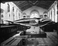 Whale cast in the Mammals exhibit in the South Hall of the Arts and Industries Building, before the 1887 relocation (it was moved from its mount and suspended from ceiling). There are packing crates in the foreground, and there is a guard walking past the whale cast. 1885, 2002-12202, Smithsonian Institution Archives.