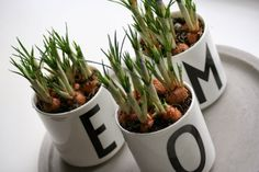 arjentimantteja.blogspot.fi #krysanteemit #kevät #chrysanthemum #spring