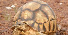 """A população da tartaruga """"Astrochelys yniphora"""" não ultrapassa a marca de 770 indivíduos em Madagascar, na África, diz relatório da IUCN"""
