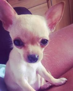 Chi puppy