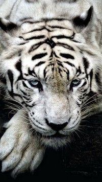 Wild Eyes Wallpaper Big Cats Animals Wallpapers) – Wallpapers and Backgrounds Wallpaper S8, Tiger Wallpaper, Animal Wallpaper, Mobile Wallpaper, Snow Tiger, Pet Tiger, Beautiful Cats, Animals Beautiful, Cute Animals