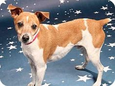Maryland Heights, MO - Parson Russell Terrier. Meet BUDDY, a dog for adoption. http://www.adoptapet.com/pet/12293829-maryland-heights-missouri-parson-russell-terrier
