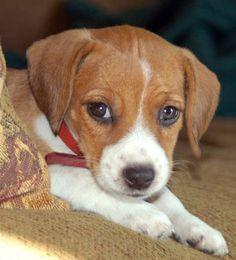 Beagle/Jack Russell Mix