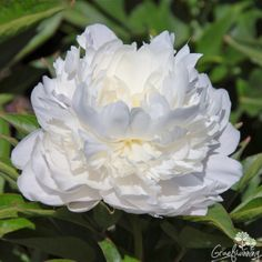 Paeonia Baroness Schroeder... beautiful large fragrant flowers ,  good cut flower  <3                       Graefswinning