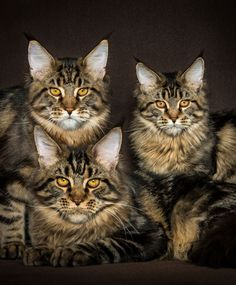 feline photography Siblings Maine Coon Cats by Robert Sijka? Maine Coon Kittens, Cats And Kittens, Ragdoll Kittens, Tabby Cats, Funny Kittens, Bengal Cats, White Kittens, Adorable Kittens, Black Cats