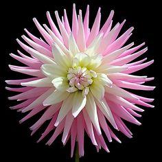 nature | flowers | dahlia 'NTAC patricia'