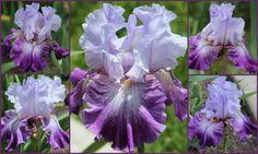 Tall Bearded Iris THEATER