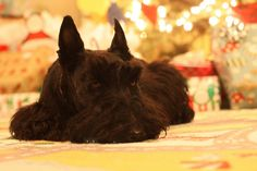 Christmas Scottie, looks like my lovely Isabella...