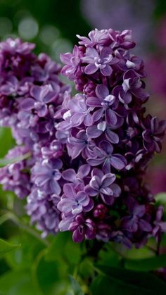 Gardeners often grow shrubs as it is easy to take care and offers variety of colorful flowers with its sweet aroma. A shrub in your garden looks beautiful and keeps the surrounding atmosphere pleasant by spreading fragrances.