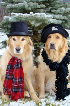 golden retrievers outfitted in hats and scarves Cute Puppies, Cute Dogs, Dogs And Puppies, Doggies, Tartan Christmas, Christmas Dog, Merry Christmas, Xmas, Golden Retrievers