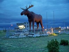 Giant fibreglass moose near information centre in Moose Jaw, Saskatchewan in early September I parked in the dark and waited for first light so I could catch this wily creature. Within sight of the Trans-Canada Highway. Western Signs, Canadian Prairies, Saskatchewan Canada, Moose Hunting, Pheasant Hunting, Turkey Hunting, Archery Hunting, O Canada, Places