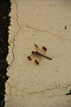 Kumamoto_Aso 20130811-12 Dragonfly