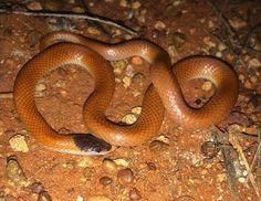 Monk Snake