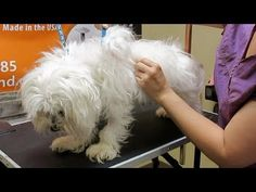 How to Groom A Matted Maltese Puppy Haircut, Go Fund Me, Yorkshire Terrier, Maltese, Dog Grooming, Pet Care, Best Dogs, Cute Dogs, Arm Flab