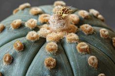 Astrophytum asterias cv. Ruri Kabuto (Ooibo)