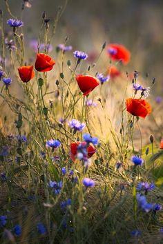 Cheap rare beautiful wildflower seeds perennial combination planting attractive butterfly light up your garden mix color My Flower, Flower Art, Flower Power, Wild Flowers, Beautiful Flowers, Poppies Poem, Poppies Tattoo, Red Poppies, Flower Wallpaper