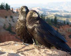 https://flic.kr/p/4dtoL1 | Ravens, Bryce Canyon NP, Summer 2007