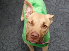 SAFE --- URGENT - Manhattan Center    KASH - A0989074   MALE, TAN / WHITE, PIT BULL MIX, 7 mos  OWNER SUR - EVALUATE, NO HOLD Reason LLORDPRIVA   Intake condition NONE Intake Date 01/08/2014, From NY 10039, DueOut Date 01/08/2014 Original Thread: https://www.facebook.com/photo.php?fbid=738845446128337&set=a.617938651552351.1073741868.152876678058553&type=3&theater