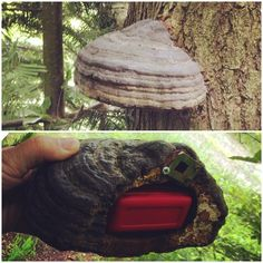 Cool fungus geocache.  Nice job hollowing out the inside for a container.  #IBGCp