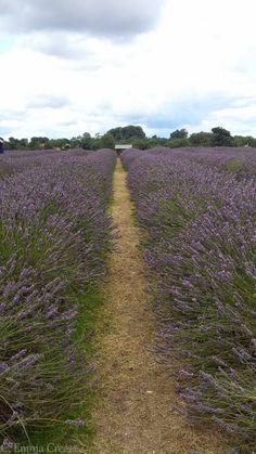 Mayfield Lavender farm, Banstead Surrey.  We've found a taste of Provencal, without the 3 hour flight. Don't believe me? Hop on the 166 bus going south west from West Croydon train station, chat to your neighbour for 25 minutes (or so) and you'll have 25 acres of proof.