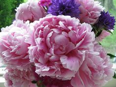 Cut peonies while they're still buds to avoid bringing ants indoors; they'll bloom in the vase.