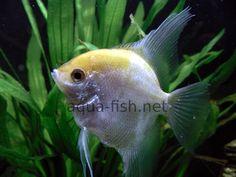 White Angelfish (50gal Fresh Water)