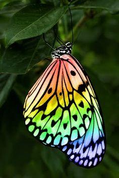vert jaune et rouge Rainbow Butterfly