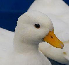 Call duck - so pretty