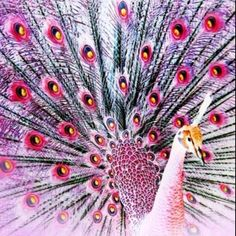 Pink peacock                                                                                                                                                                                 More