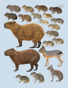 Family Caviidae (Cavies, Capybaras and Maras)