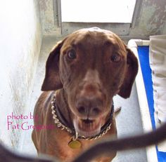 A3713339 My name is Houston. I am a very friendly 7 yr old spayed female chocolate/white Weimaraner mix. My owner left me here on October 17. available now.  I share these photos to help get these dogs seen and hopefully find homes. I do not work for the shelter nor do I rescue or pull. If you are interested in this dog, please contact the shelter directly to find out its availability. NOTE: Bully breeds are not kept as long as others so those dogs are always urgent!!  Baldwin Park shelter…