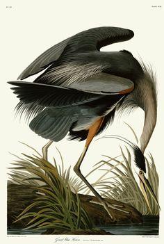 No.226 Hoping Crane Audubon Print Repro Havell Edition Double Elephant Folio