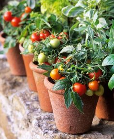 The perfectly ripe summer tomato juicy and still a little warm from