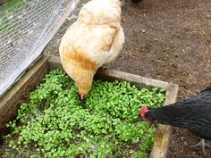 DIY Chicken Salad Bar for chickens! (If the ground around their coop ever gets bare, this would be a great idea!)