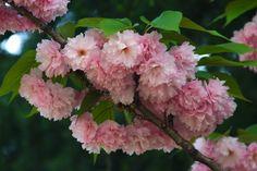 Kapcsolódó kép Osaka, Cherry Blossom, Bing Images, Mint, Japanese, Plants, Dreams, Japanese Language, Plant