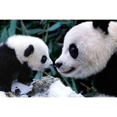 Panda Bears Mother and Cub