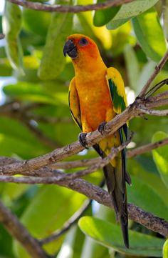 jandaia-amarela (Aratinga solstitialis) por Marcelo Camacho | Wiki Aves - A Enciclopédia das Aves do Brasil