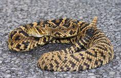 Rattlesnakes - Lucky Mojo