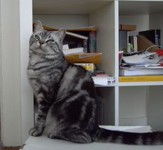 Tbycatachers Oliver Twisted (Silver Tabby American Wirehair) 19/02/05 -    Ollie :)