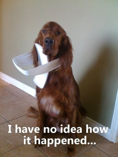 """Our black lab did this once...she slunk in the room with what looked like a cone around her neck, but turned out to be the bathroom trash lid.  Her look said, """"Um, I...uh, please don't be mad, but I...uh, need a little help....""""  Laughed until we cried."""