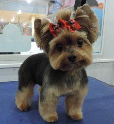 Cute Baby Dogs, Cute Baby Animals, Yorkies, Yorkie Cuts, Yorkie Teddy Bear Cut, Yorkshire Macho, Yorkie Hairstyles, Puppy Haircut, Yorshire Terrier