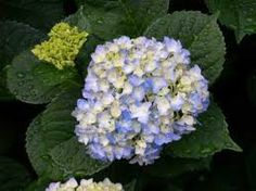 Its amazing what a little PH can do- Blue (and pink) hydrangeas