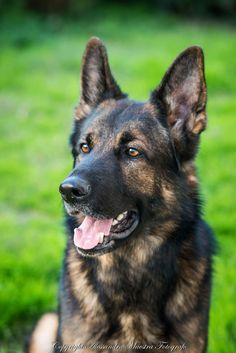 Gorgeous Dark Sable German Shepherd