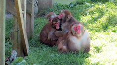 QC - Hemmingford - Parc Safari - 9 of 25 - Japanese Macaques