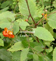 Edible Plants: Jewelweed - also good for tincture for poison ivy