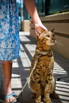 Top 5 Most Expensive Cat Breeds, Savannah cats can range from $15,000-35,000