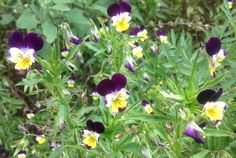 This wild pansy is also known as Johnny Jump Up Heartsease and Love-in-Idleness...