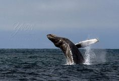 whale watching, Monterey