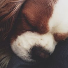 sleeping cavalier.