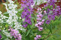 Enkelinkukka F1'Serena'/Angelonia angustifolia. Ex. Garden.
